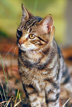 Bearfur tom  loves:sageleaf but knew she was a medicine cat apprentice so he took blossomheart as a mate friend:sageleaf why;well DA he she is his friend he loves her she is so sweet to him. Mother:shadewhisker