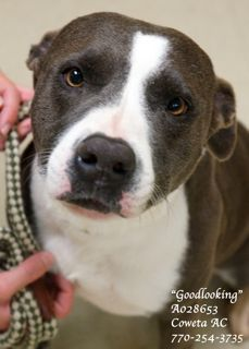 "B-6 EXTREMELY URGENT! American Pit Bull Terrier Mix SPAYED Female Adult (4 year) Medium ) •ID: A028653 •Shelter Name: ""Goodlooking"" •Vaccinated, Heartworm NEGATIVE, Spayed PLEASE CONTACT COWETA COUNTY ANIMAL CONTROL TO ADOPT THIS PET: 770-254-3735. The address is 91 Selt Road, Newnan, GA. ""Goodlooking"" certainly comes by her name honestly. She is a beauty!!! ""Goodlooking"" seems to be well-mannered and is already spayed and heartworm NEGATIVE!"