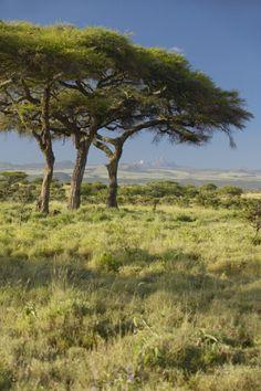 acacia trees lewa wildlife kenya | Mount Kenya and Acacia Trees at Lewa Conservancy, Kenya, Africa ...