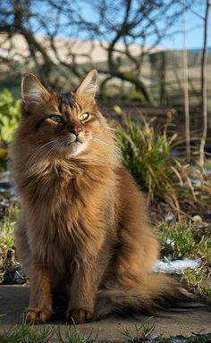 A Maine Coon is a large breed of cat, not just referring to its voluptuous fur but its body mass, too. The Maine Coon lifespan is hardly any. Pretty Cats, Beautiful Cats, Animals Beautiful, Cute Animals, Animal Gato, Mundo Animal, Somali, Kittens Cutest, Cats And Kittens