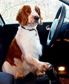 Get in, I'm driving - Welsh Springer Spaniel