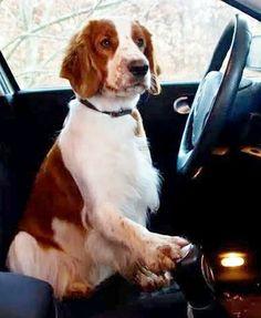 Get in, I'm driving - Welsh Springer Spaniel