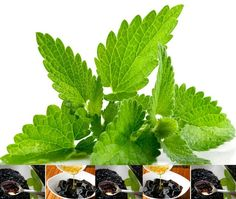 Fresh Spearmint - Candle making fragrance oil, Diffusers, Oil Burners, Aromatherapy Soap Making Process, Soap Making Kits, Soap Making Recipes, Herbal Plants, Medicinal Plants, Candle Making Machine, Herbal Leaves, Foeniculum Vulgare, Candle Making Business