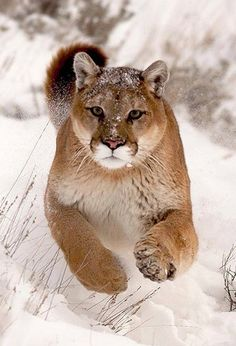 Puma, mountain lion or cougar; same cat, multiple names Crazy Cats, Big Cats, Cool Cats, Cats And Kittens, Nature Animals, Animals And Pets, Cute Animals, Beautiful Cats, Animals Beautiful