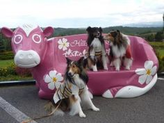 Shelties visit the Big Pink Cow