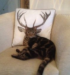 funny cat with deer horns