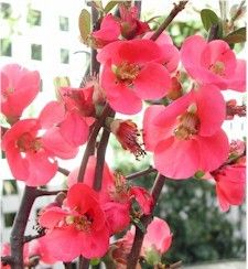 oh quince. Branches filled with the most beautiful, corally blooms. They are great on their own in tall arrangements. Branches, Blossoms, Love Story, Most Beautiful, January, Bling, Gardening, Seasons, Decorating