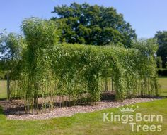 Living Willow Castle. Reaching over 4 metres tall!