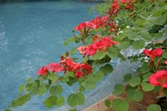 Poolside plants: A few do's and don'ts - Houston Chronicle