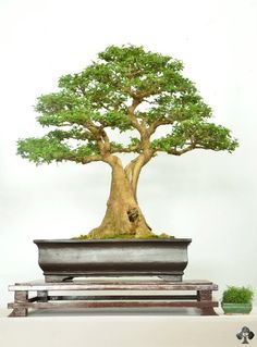 Welcome to our Bonsai gallery, full of masterpiece Bonsai trees. Pre Bonsai, Mini Bonsai, Indoor Bonsai, Bonsai Art, Bonsai Plants, Bonsai Garden, Garden Trees, Trees To Plant, Succulents Garden