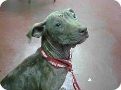 10/09/16 SL~~~09/06/16-Labrador Retriever Mix Dog for adoption in Atlanta, Georgia - ZADER