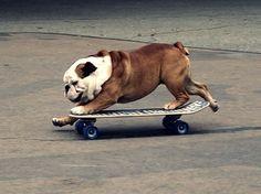 bulldog on wheels! (my bulldog is terrified of skateboards! Bulldog Puppies, Cute Puppies, Cute Dogs, Dogs And Puppies, Doggies, Funny Bulldog, Bulldog Pics, Fun Dog, Funny Animals