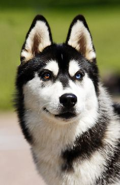 Siberian husky puppy( love the scary look and the kind nature)