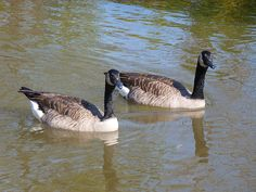 Canadian geese / Clickasnap
