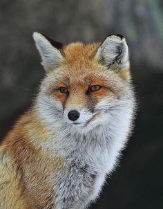 Fox, by Chiara Cecchinato