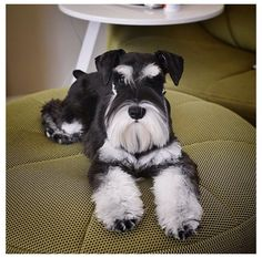 OMG this is one gorgeous little mini schnauzer
