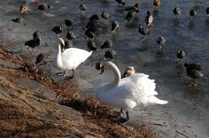 Swans at Damhus lake