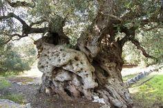 Accarezzare ulivi millenari un piacere che vale il viaggio (a thousand year old olive tree(?)))