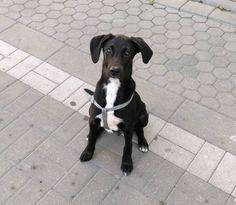 Adopta a Tango ( Labrador Retriever ) - #adopta #perros