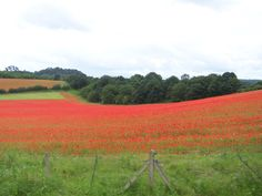 Poppy Fields near Kidderminster