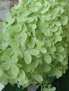 Hydrangea, Limelight. Oh, how I love green flowers!