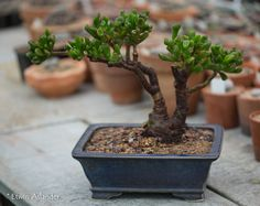 Pruning A Bonsai - 34 Fresh Pruning A Bonsai Pictures, Outdoor Bonsai Tree Garden Design Ideas Jade Bonsai, Succulent Bonsai, Juniper Bonsai, Succulent Gardening, Planting Succulents, Bonsai Pruning, Bonsai Soil, Bonsai Seeds, Bonsai Plants