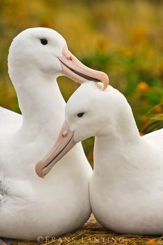 Southern Royal Albatrosses (Thalassarche chlororhynchos) courting, Range of this amazing bird: Adams Island, Campbell Island, Enderby Island, Auckland Island and Otago Peninsula / New Zealand Beautiful Birds, Animals Beautiful, Cute Animals, Frans Lanting, Types Of Animals, Wild Creatures, All Birds, Bird Watching, Bird Feathers