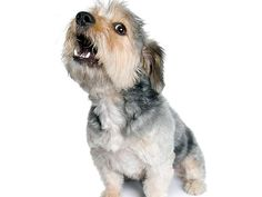 Do you yell at your dog for barking? How to train your dog not to bark with proven, positive methods. Stop incessent dog barking! Schnauzer Mix, Miniature Schnauzer Puppies, Schnauzers, English Cocker Spaniel, Dog Crossbreeds, Stop Dog Barking, Most Popular Dog Breeds, Aggressive Dog, Dog Training