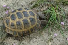 Article: Edible Plants for Tortoises. Examples: Aloe, Horseraddish Leaves,Tall oat grass & ,Bermuda Grass. Plus: a list of toxic plants to avoid!