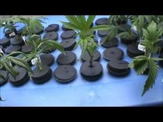 The most effective way of cloning a marijuana mother plant for healthy root growth.