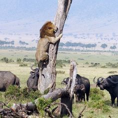 || When The Tables Are Turned || A large Male lion clings to a tree as an angry buffalo herd waits below in the Maasai Mara . [Photo credit to Charles Comyn]