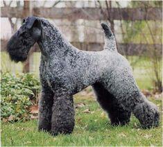 kerry blue terrier photo | Kerry Blue Terrier, un perro de origen irlandés | Bulhufas.es - Blogs ...