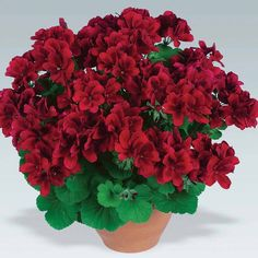 Two-color Red White 100 pcs Rare Geranium Seeds, Variegated Geranium Potted Winter Garden Flower, Bonsai Potted Flower PlantGeranium 'Aristo Velvet Red' from Van Meuwen - experts in the garden since Red White 100 Seeds Rare Geranium See Rare Flowers, Colorful Flowers, Beautiful Flowers, Geranium Plant, Geranium Flower, Indoor Flowering Plants, Blooming Plants, Flowers Perennials, Planting Flowers
