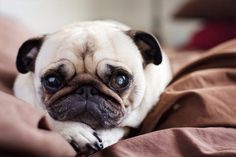 I miss my pug!