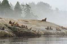 Endangered Steller Sea Lions Along the Coast of British Columbia