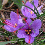 Saffron Crocus 25 Bulbs - Rare Spice - Fall Blooming - Crocus Sativus