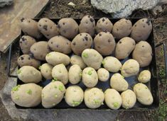 Planting Potatoes Gardening Tips and Pictures Potato Gardening, Planting Potatoes, Organic Gardening, Gardening Tips, Grow Potatoes, Lush Garden, Water Garden, Farm Gardens, Outdoor Gardens