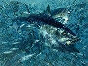 Image: Painting of bluefin tuna devouring mackerel