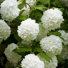 Shrubs My Viburnum opulus has finally grown big enough to plant out into the garden. Sun or semi shade - one for the bottom of the garden where the white border meets the woodland border. White Plants, Large Plants, Potted Plants, Garden Shrubs, Shade Garden, Viburnum Opulus Roseum, White Flowers, Beautiful Flowers, Plants