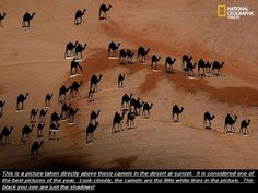 An amazing photograph of camels in the desert ~ From National Geographic