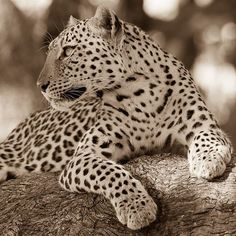 Sepia leopard: because some animals suit monotone! Less than a week til I'm on safari again as well, and I can't wait! #animal_captures #Ig_Africa #animallovers #leopard #bigcats #bbcearth #natgeowild #nakedplanet #Nature_sultans #animalelite #animal_captures #afritravel #africansafari #african_portraits #Ig_Africa #igs_africa #sepia #monotone #artoftheday