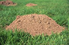 100 Percent Foolproof Way to Get Rid of Moles is part of Garden pests - Garden moles can be harmful lawn pests that feed off garden plants and dig holes through the lawn and garden While there are several retail products that claim to get rid of Hydroponic Gardening, Hydroponics, Organic Gardening, Gardening Tips, Gardening Shoes, Gardening Services, Urban Gardening, Vegetable Gardening, Container Gardening