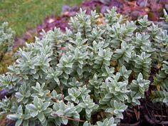 rośliny ogrodowe - Hebe tłustolistna (Hebe pinguifolia)