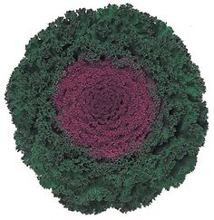 Mountain Valley Seeds - Flowering Kale - Kamome Series - Red #08630P2