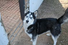 448 _ Storm 3 Year old black & white male with 2 blue eyes. He is a very special boy & will indoor access.Contact Jasper on 0832312290 or jasper@huskyrescue.co.za.