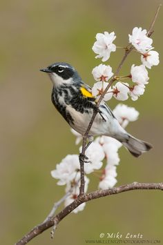 Yellow-rumped-warbler-verticle-on-flowers