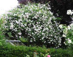 Rambler-Rosen ¿ Pflegeschnitt - Seite 2 - Rund um die Rose - Mein schöner Garten online