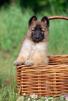 Belgian Tervuren - i want another puppy Belgian Dog, Belgian Tervuren, Belgian Shepherd, Shepherd Dog, German Shepherds, Herding Dogs, Purebred Dogs, Really Cute Puppies, Cute Dogs