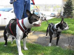 """Boston Terriers---Doc & Leo enjoying some quality time in Iowa at 4 Miles 2 Memphis...they are both watching a child with homemade bow and arrow and thinking """"CHEW TOY!!"""""""