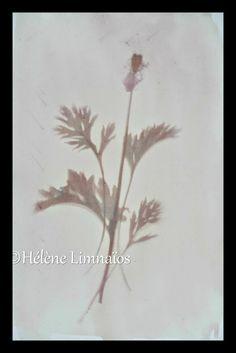 Mémo Bleu: Anthotype mode d'emploi: créer une image avec le jus des fleurs!!